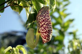 Aristolochia littoralis Parodi. Aristoloche élégante.