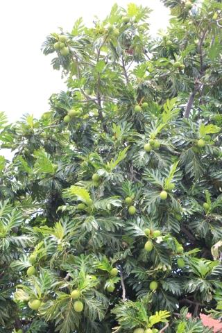 Artocarpus altilis (Parkinson) Fosberg.