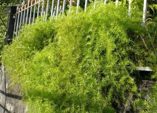 Asparagus densiflorus (Kunth) Jessop. Asparagus de Spenger.