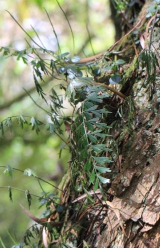 Asplenium aethiopicum (Burm. f.) Bech.