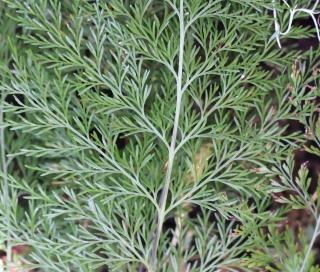 Asplenium daucifolium Lam. var. viviparum.