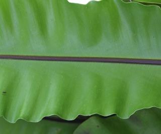 Asplenium nidus L. var. nidus.