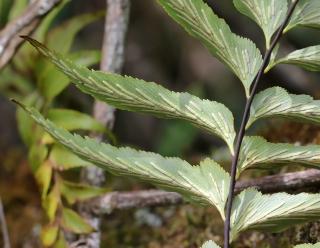 Asplenium petiolulatum Mett.