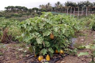 Solanum melongena L.