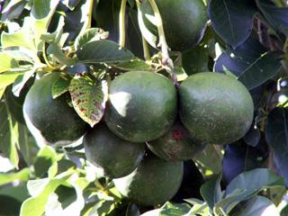 Persea americana Mill. Avocatier Avocat.