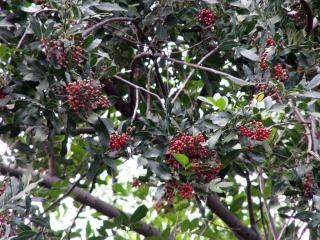 Schinus terebinthifolia Raddi. Faux poivrier. Baie rose.