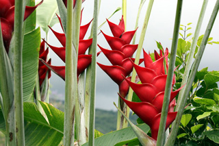 Heliconia caribaea Lam. Balisier des Caraïbes.