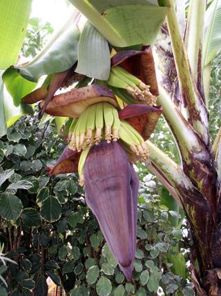 Fleur de bananier, baba figue.