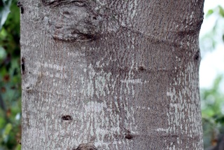 Aleurites moluccanus, Bancoule, Bancoulier.