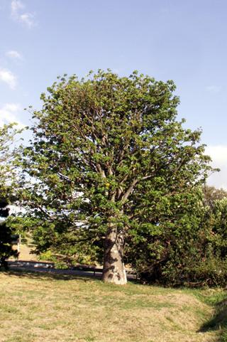 Adansonia digitata L. Baobab africain.