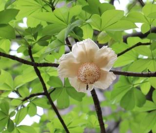 Fleur Adansonia digitata L.
