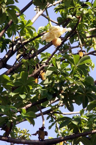 Fleur et fruit Adansonia digitata L.