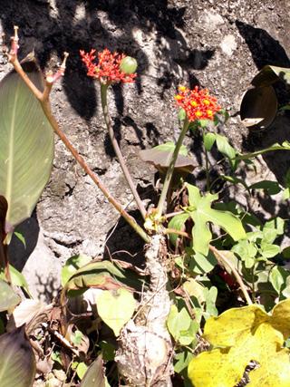 Baobab Nain ou Fleur de Corail ou Plante bouteille ou Médicinier Jatropha podagrica.