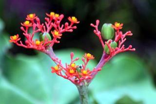 baobab nain ou fleur de corail ou plante bouteille ou m dicinier flore de la r union. Black Bedroom Furniture Sets. Home Design Ideas