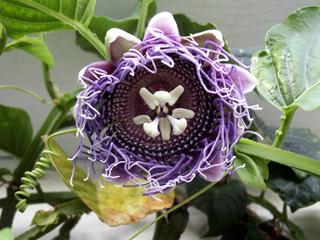 Fleur : Barbadine. Grenadille à tige quadrangulaire. Passiflora quadrangularis.