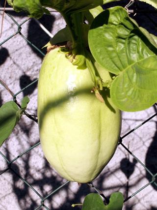 Fruit : Barbadine. Grenadille à tige quadrangulaire. Passiflora quadrangularis.