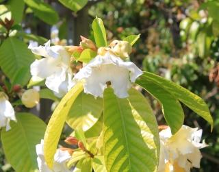 Beaumontia grandiflora, Beaumontie à grandes fleurs.