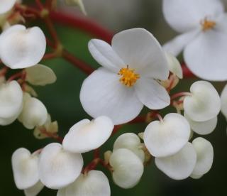 Begonia minor Jacq.