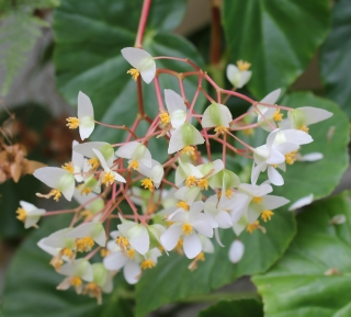 Begonia minor Jacq.