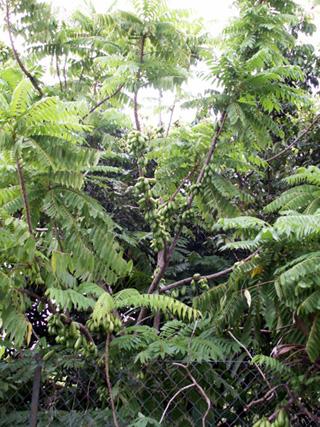 Bilimbi ou arbre à cornichons. Averrhoa bilimbi.