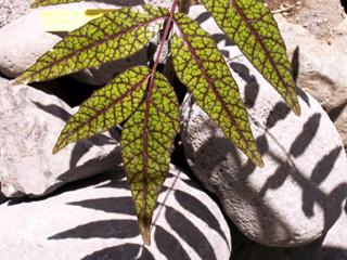 Bois blanc rouge ou Zévi marron - Poupartia borbonica Arbre endémique des Mascareignes.