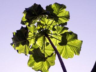 Obetia ficifolia (Poir.) Gaudich.