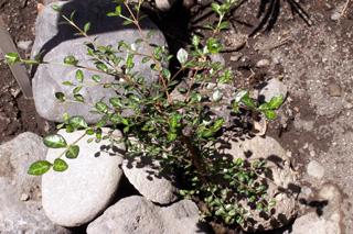 Bois de balai ou Bois de buis - Fernelia buxifolia endémique des Mascareignes.