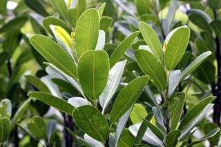 Feuilles : Bois de fer bâtard Sideroxylon borbonicum.
