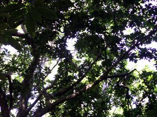 Bois de gaulette arbre de La Réunion.