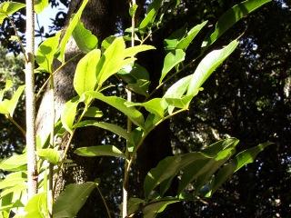 Doratoxylon apetalum (Poir.) Radlk.