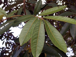 Feuilles Bois de judas. Cossinia pinnata.