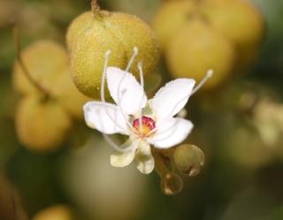 Fleur Cossinia pinnata. Bois de judas.