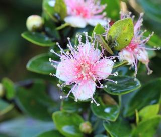 Fleur : Eugenia buxifolia. Bois de Nèfles.