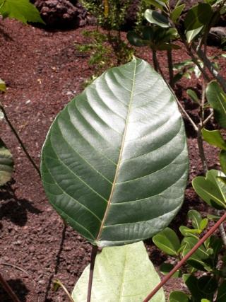 Hancea integrifolia (Willd.) Kulju & Welzen.