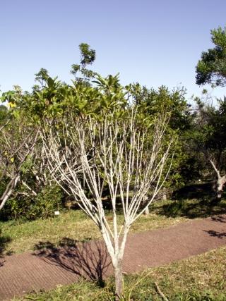 Coptosperma borbonica (Hend. et A.A. Hend.) De Block.