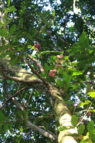 Syzygium cymosum (Lam.) DC. Bois de pomme rouge.