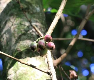 Syzygium cymosum (Lam.) DC.