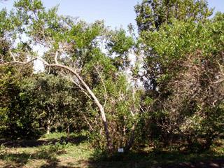 Bois de reinette Indigène de La Réunion.