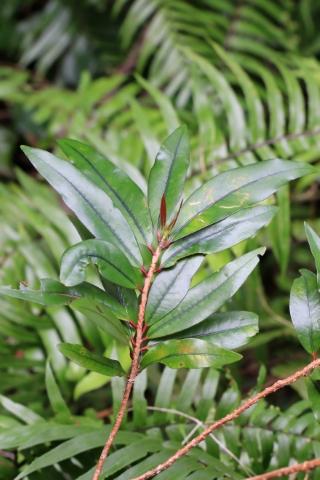 Erythroxylon laurifolium, Bois de rongue.