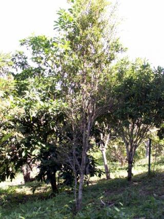 Scolopia heterophylla. Bois de tisane rouge.