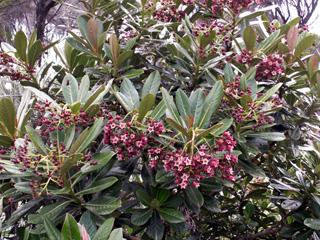 Forgesia racemosa, Bois de Laurent Martin.