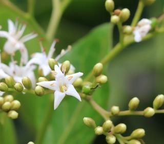 Ehretia cymosa.