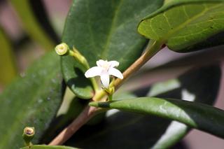 Pyrostria commersonii, Bois mussard.