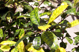 Bois de prune rat - Myonima obovata Lam. Espèce endémique de La Réunion et de Maurice.