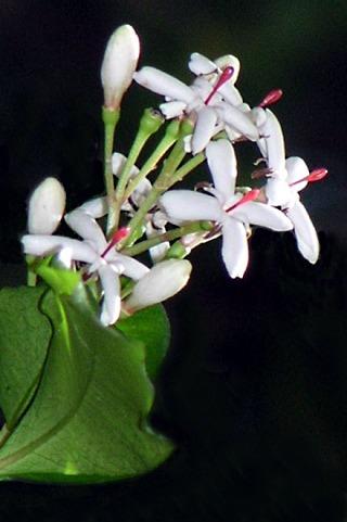 Fleurs : Myonima obovata Lam.