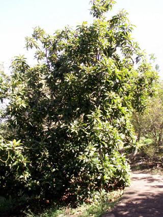 Bois puant Arbre endémique de La Réunion et de Maurice.
