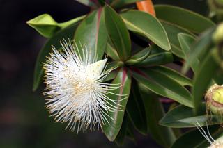 Fleur : Foetidia mauritiana Lam. Bois puant.