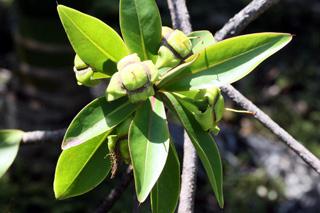 Fruits : Foetidia mauritiana Lam. Bois puant.