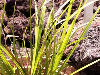 Carex wahlenbergiana Boott Endémique de La Réunion.