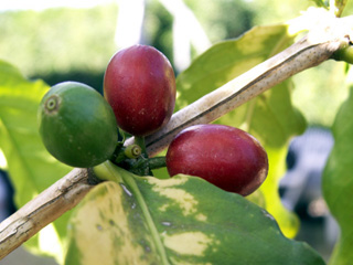 Coffea arabica var. laurina. Bourbon pointu.